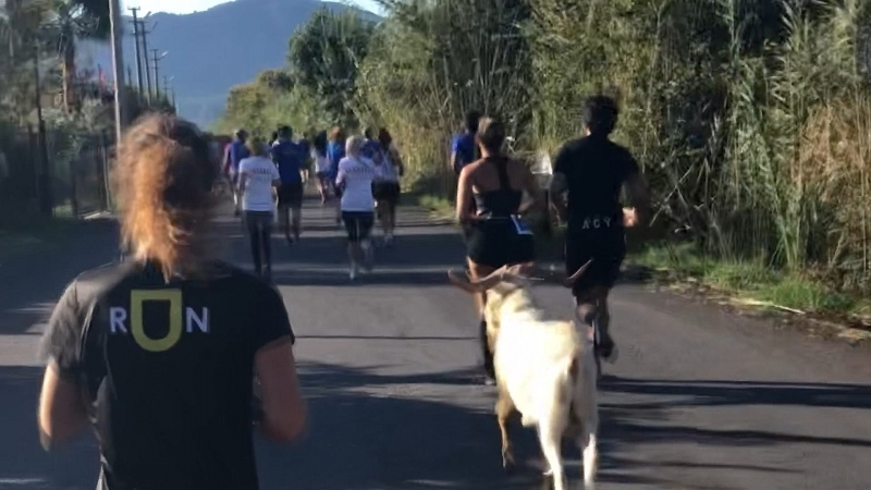 Maratona Katılan Keçi İlgi Odağı Oldu