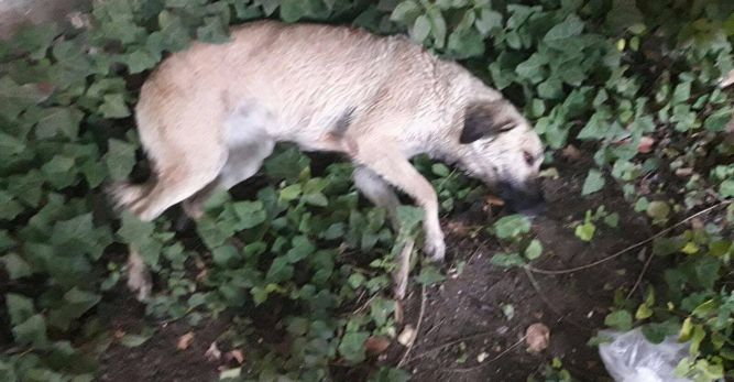 Muğla'da köpek katliamı
